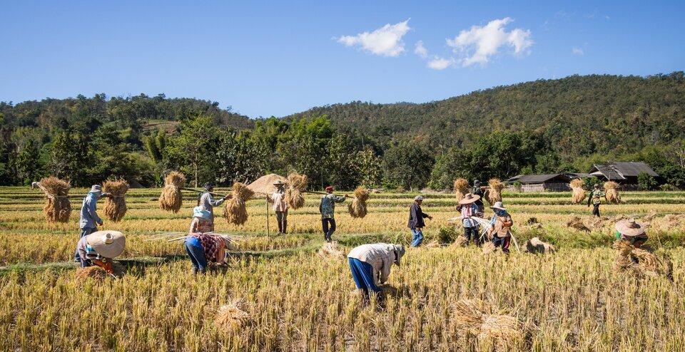 Na zdjęciu kilkanaście osób na skoszonym polu ryżowym zbiera słomę iwiąże wsnopki.