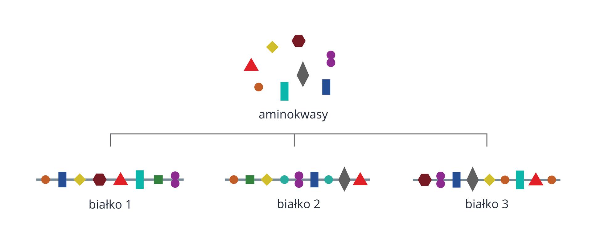 Ilustracja przedstawia zbiór kolorowych figur geometrycznych, obrazujących aminokwasy. Są tu kwadraty, prostokąty, kółka, romby, trójkąty. Poniżej znajdują się trzy łańcuchy białek, ułożone ztych figur. Każdy łańcuch ma inną kolejność aminokwasów, dlatego jest to inne białko.
