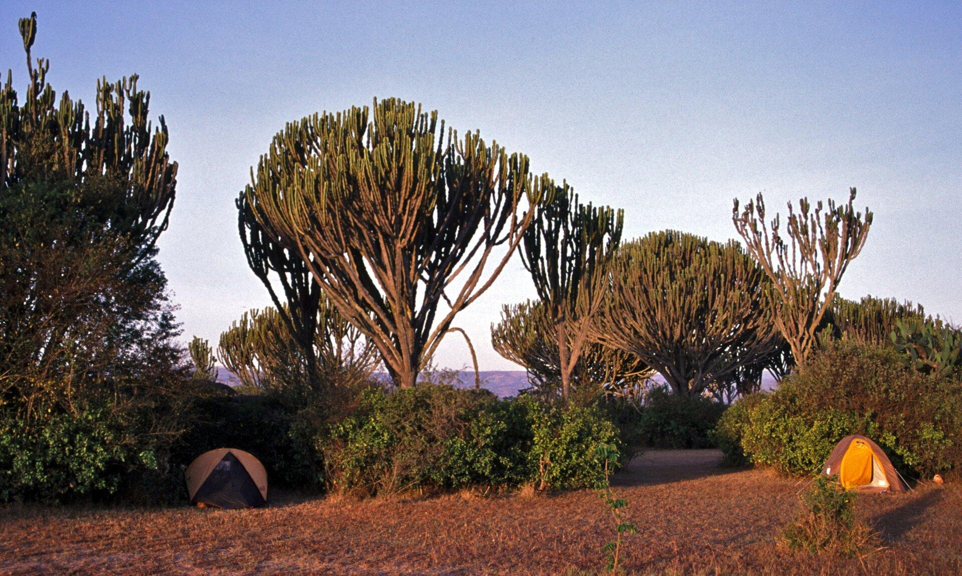 Fotografia prezentuje wilczomlecz kandelabrowy, osadzony na wysokiej łodydze rozgałęziający się sukulent, przypominający wyglądem drzewo.