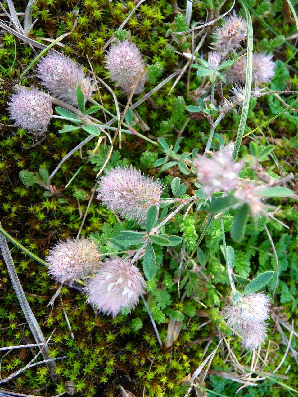 Fotografia przedstawia kwitnącą koniczynę polną, roślinę wieloletnią.