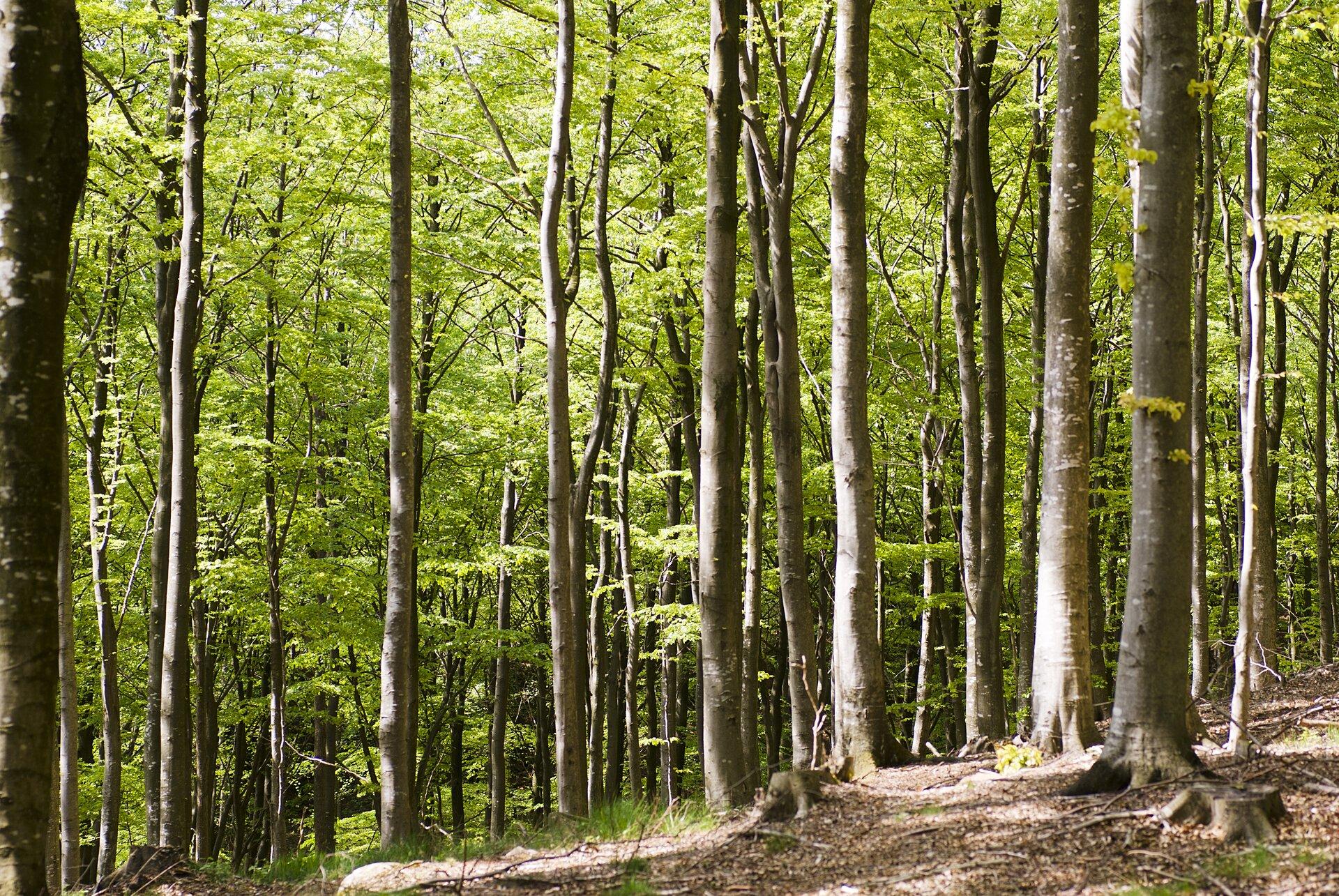 Fotografia przedstawia wnętrze lasu bukowego, czyli buczyny. Las jest gęsty, pnie drzew cienkie, pokryte jasną korą. Przez zielone liście prześwieca słońce.