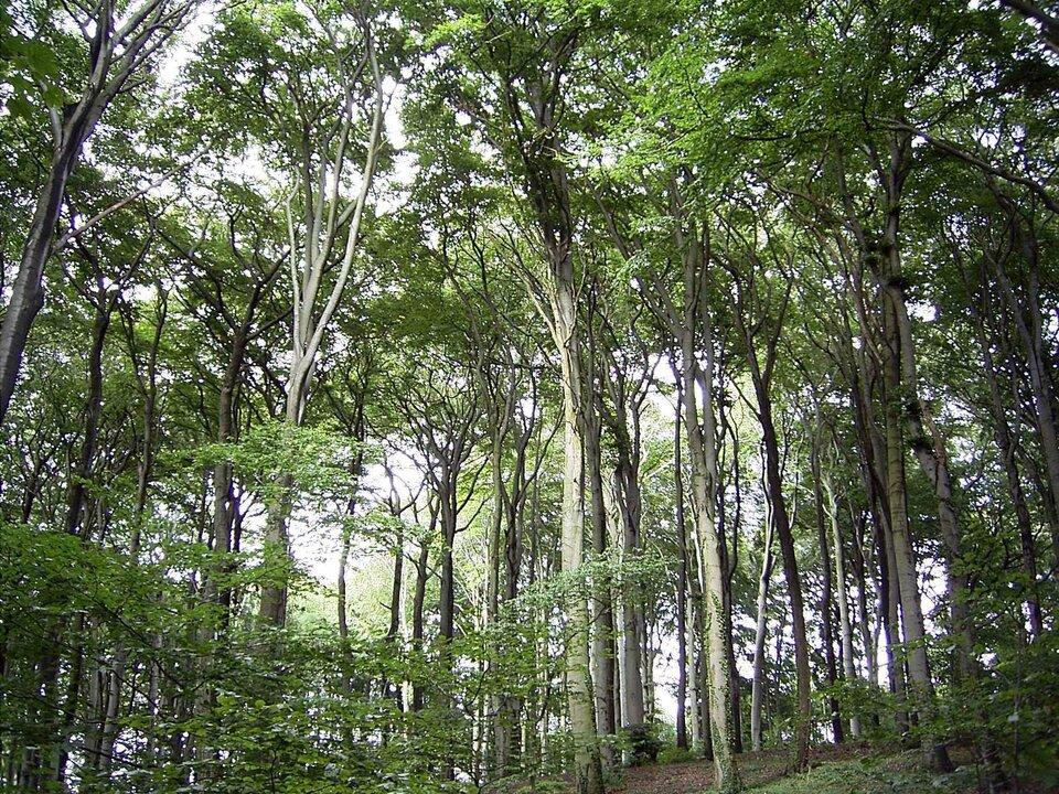 Fotografia przedstawia las liściasty. Korony drzew są wysokie. Las przejrzysty iświetlisty.
