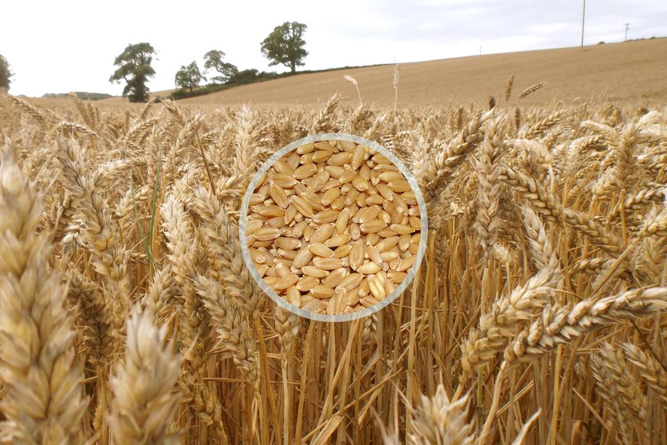 Fotografia przedstawia łan pszenicy. Ukazano grube kłosy zlicznymi nasionami bez ości. Wcentrum nałożone zbliżenie grubych ziaren. Wtle zlewej drzewa na miedzy.