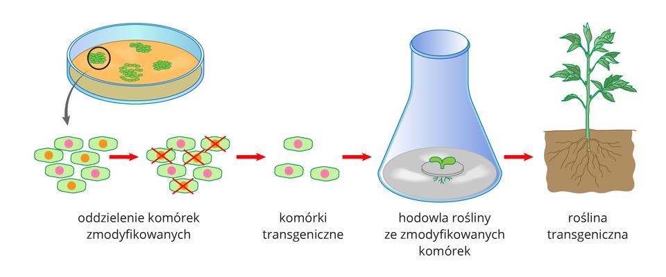 Ilustracja przedstawia ugóry szalkę zkomórkami roślinnymi. Poniżej schematycznie ukazano komórki zpomarańczowym lub różowym jądrem komórkowym. Przy pomocy czerwonych strzałek iskreśleń wskazano, że do hodowli tkankowej wybierane są te zróżowym jądrem, zmodyfikowanym genetycznie. Wcentrum ilustracji znajduje się rysunek błękitnego naczynia laboratoryjnego. Wnim na szarym krążku rośnie mała zielona roślina transgeniczna. Po prawej przedstawiono dużą roślinę, rosnącą wglebie.
