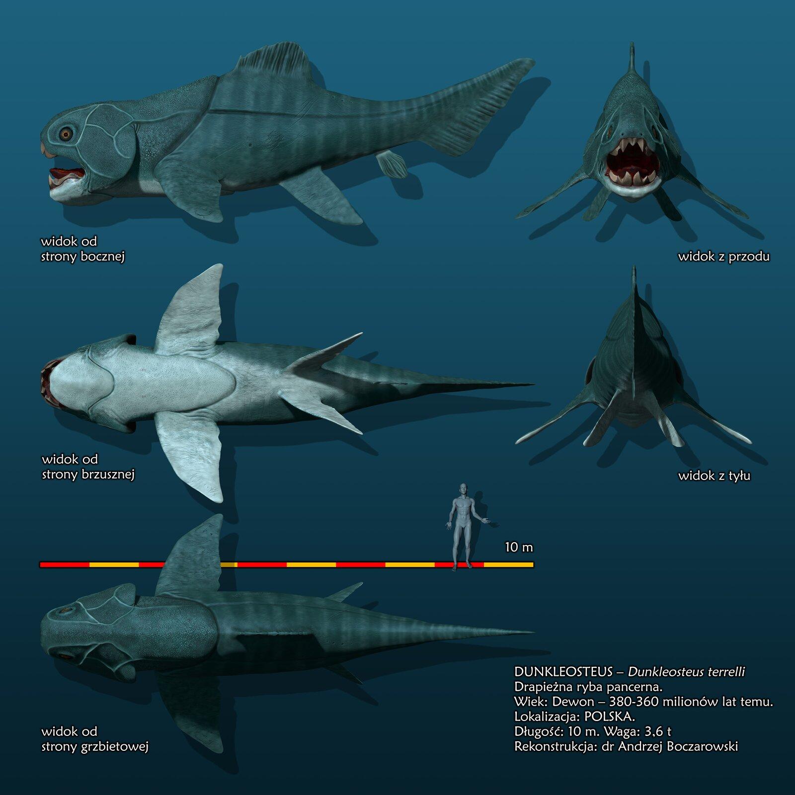 Wymarła ryba – Dunkleosteus. Na górze widać ciało widoczne zboku. Ryba jest szara. Tylna część ciała wąska, aprzednia masywna. Głowa pokryta płytami przypominającymi pancerz. Szczęki wyposażone wduże stożkowate zęby. Poniżej widać rybę od spodu. Ciało ma biały kolor. Widać duże płetwy piersiowe przypominające skrzydła. Poniżej jest podziałka liniowa, na której wyznaczono odcinki odpowiadające długości 1 mkażdy. Obok podziałki liniowej widać sylwetkę człowieka. Najniżej znajduje się ryba widoczna zgóry.