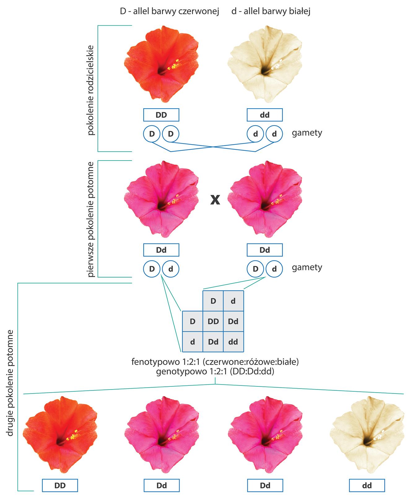 Ilustracja przestawia krzyżowanie dziwaczka oczerwonych kwiatach zdziwaczkiem okwiatach białych. Pod zdjęciami kwiatów podpisano ich genotypy igamety. Poniżej pierwsze pokolenie potomne, heterozygoty okwiatach barwy różowej. Podpisane genotypy igamety. Wtrzecim rzędzie krzyżówka genetyczna heterozygot. Poniżej wynik krzyżowania, czyli drugie pokolenie potomne. Jest to czerwona homozygota dominująca, dwie różowe heterozygoty ibiała homozygota recesywna. Taki wynik wskazuje na niepełną dominację alleli udziwaczka.