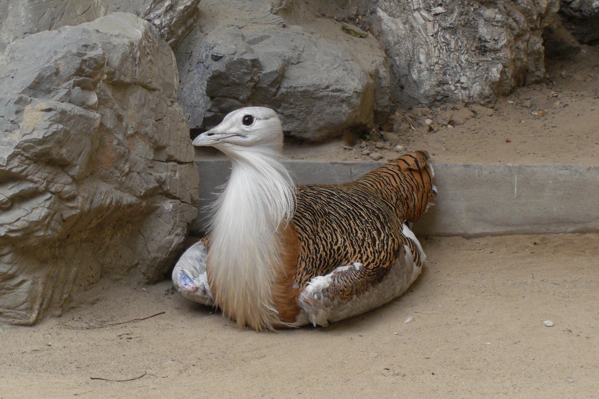 Fotografia przedstawia dużego, siedzącego między skałami ptaka. Ma białą głowę iszyję zdługimi piórami. Tułów iskrzydła brązowe wciemne cętki. To drop zwyczajny.