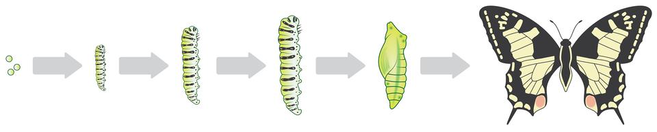 Rysunki przedstawiają od lewej kolejne etapy rozwoju motyla.