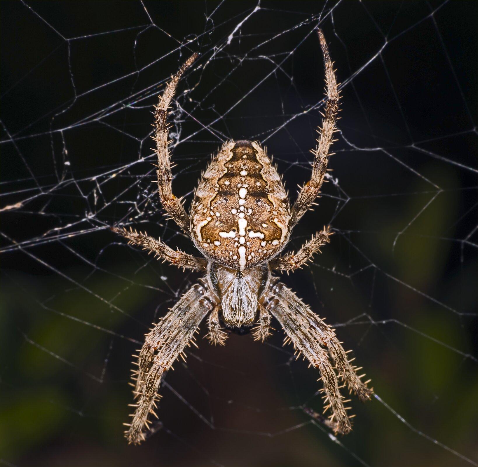 Galeria składa się zfotografii przedstawicieli pajęczaków. Fotografia przedstawia na czarnym tle pionowo wdół krzyżaka ogrodowego na sieci. Pająk jest jasnobrązowy, zbiaławymi plamami na odwłoku wkształcie krzyża. Odnóża długie, zlicznymi szczecinkami.
