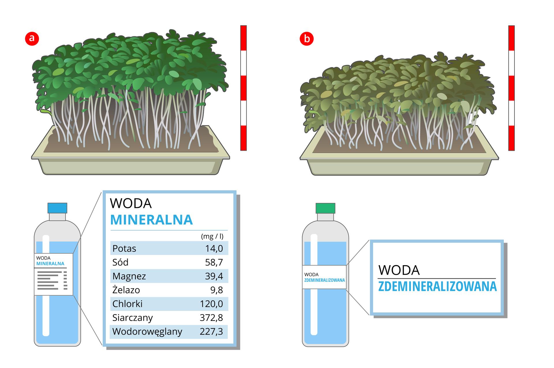"""Ilustracja przedstawia wyniki doświadczenia """"a"""" i""""b"""". Ilustracja """"a"""" to rzeżucha podlewana wodą mineralną. Rzeżucha jest wysoka, ciemno zielone liście, wprostokątnej plastikowej doniczce. Poniżej ilustracja przedstawiająca butelkę wody mineralnej zetykietą ipodanym składem wody: potas, sód, magnez, żelazo, chlorki, siarczany iwęglowodany. Ilustracja """"b"""": rzeżucha podlewana wodą zdemineralizowaną. Rzeżucha jest niższa, aliście brązowo-zielonkawe. Poniżej rysunek plastikowej butelki zetykietą: woda zdemineralizowana"""