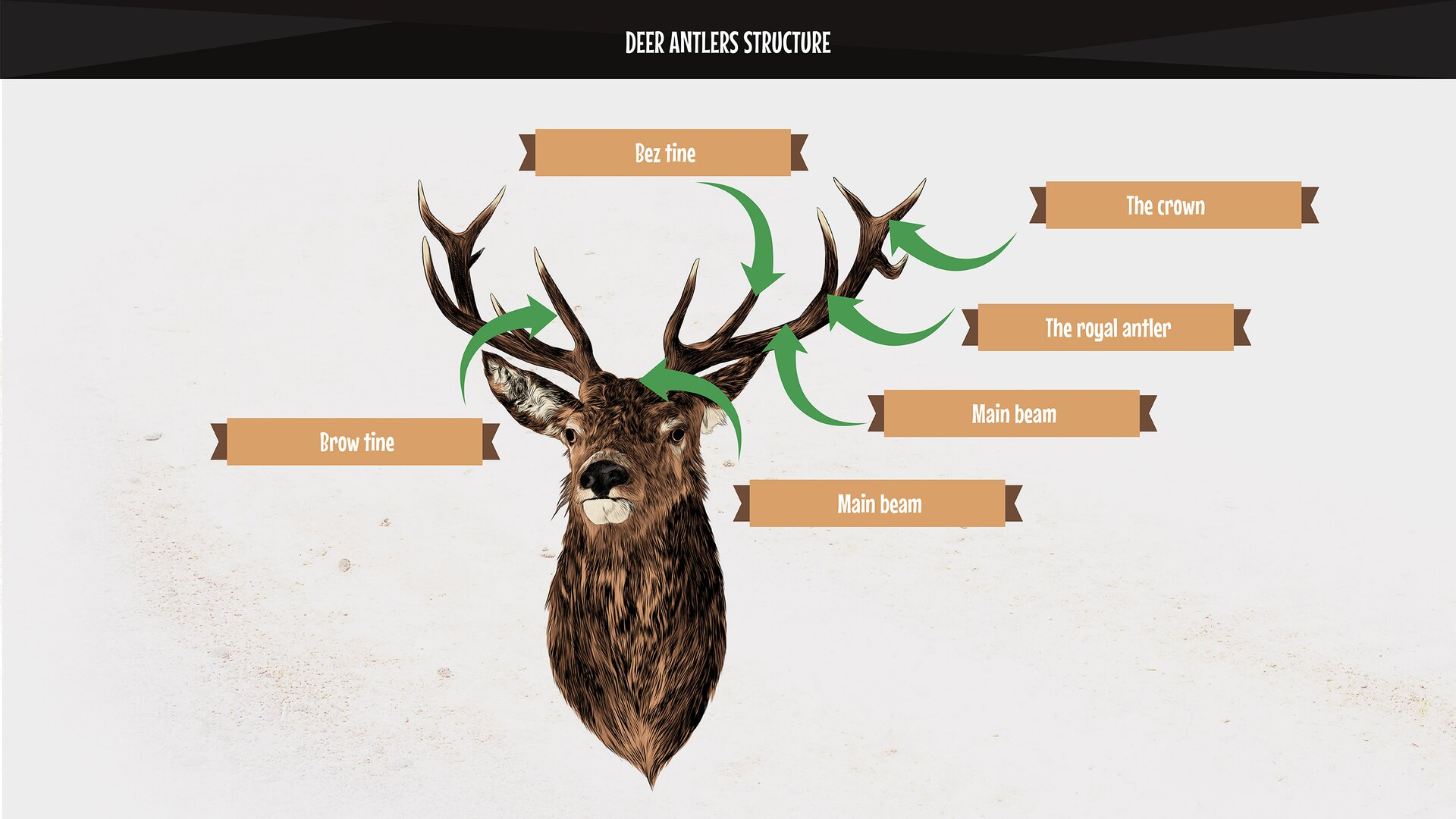 The photo presents the elements of deer antlers: main beam, crown, royal antler, bez tine, brow tine, burr. Rysunek przedstawia elementy wieńca jelenia: tyka, korona, opierak, nadoczniak, oczniak, róża.
