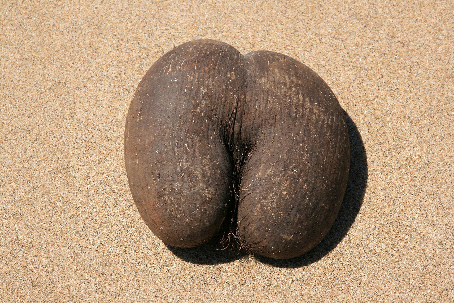 Fotografia przedstawia wielki, ciemnobrązowy owoc lodoicji seszelskiej, leżący na piasku. Składa się zdwóch połączonych części.