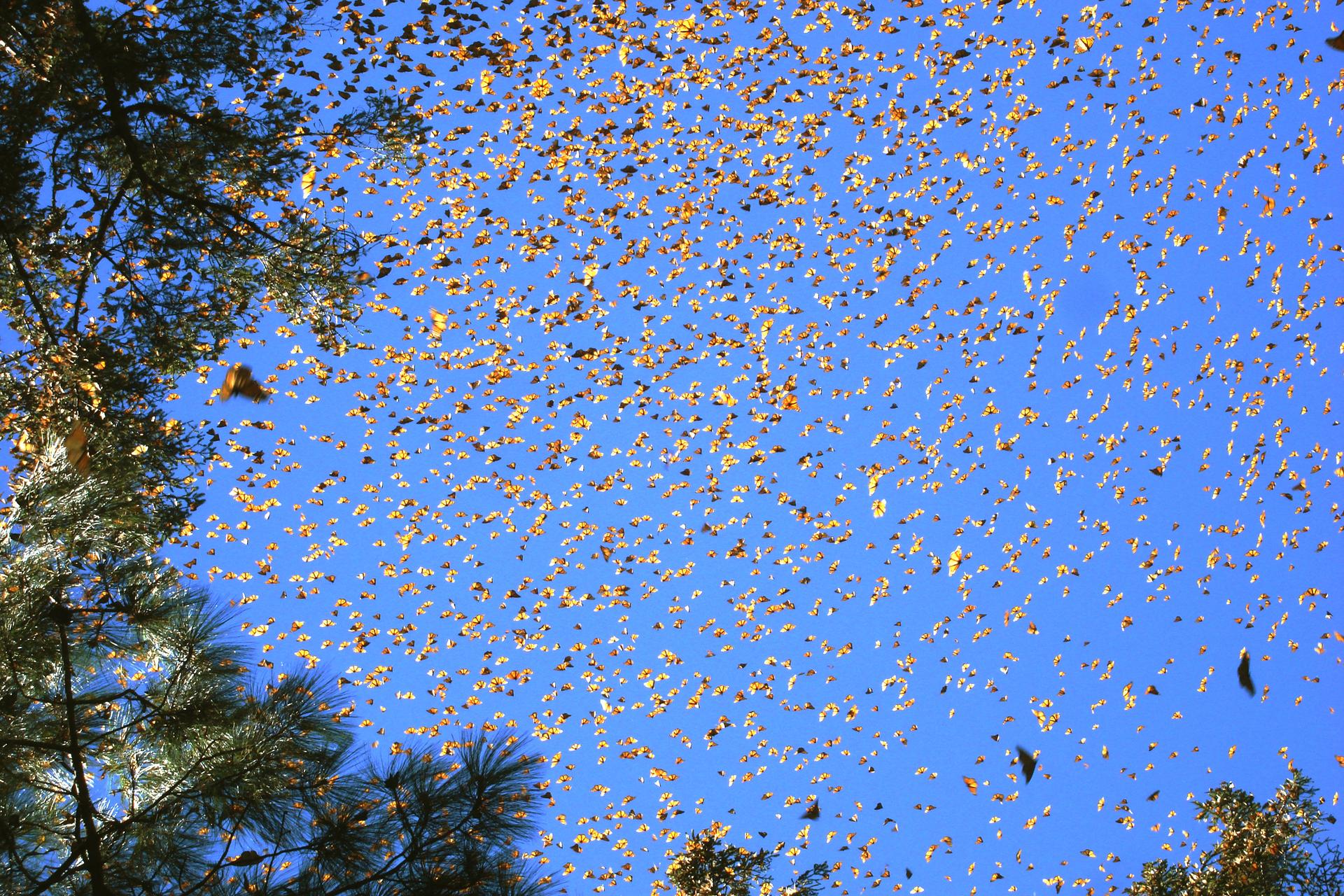 Fotografia przestawia wpowietrzu tysiące kolorowych motyli. Są pomarańczowo – czarne, zbiałymi kropkami. To wędrowne motyle monarchy, lecące corocznie na zimowiska nawet 3000 km. Zboku gałęzie drzew.