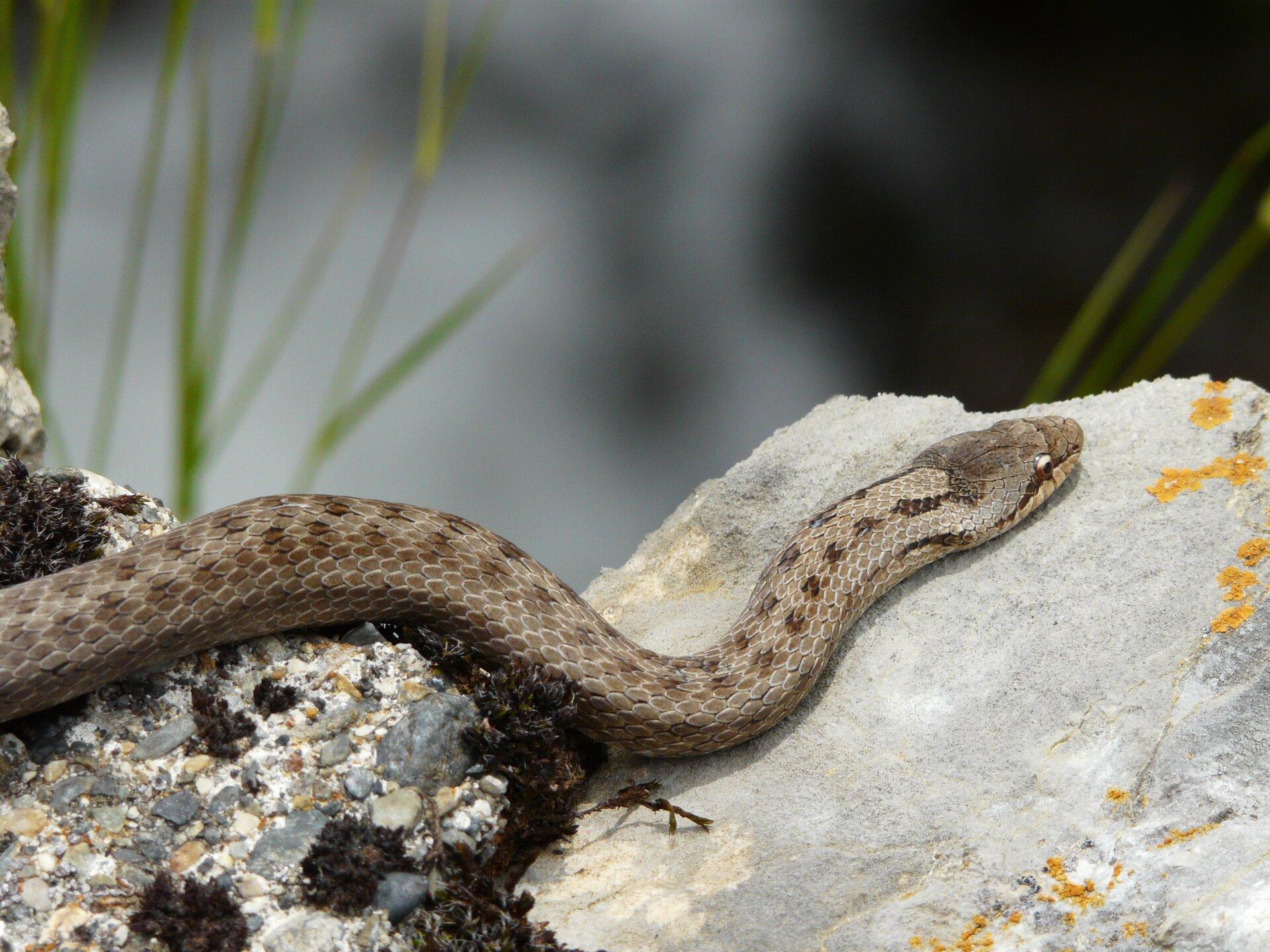 Fotografia przedstawia zgóry brązowego węża - gniewosza, leżącego na rudej, kamienistej ziemi. Ma uniesioną głowę na wygiętej esowato szyi. Ciało pokryte gładkimi, romboidalnymi łuskami; niektóre są ciemniejsze.