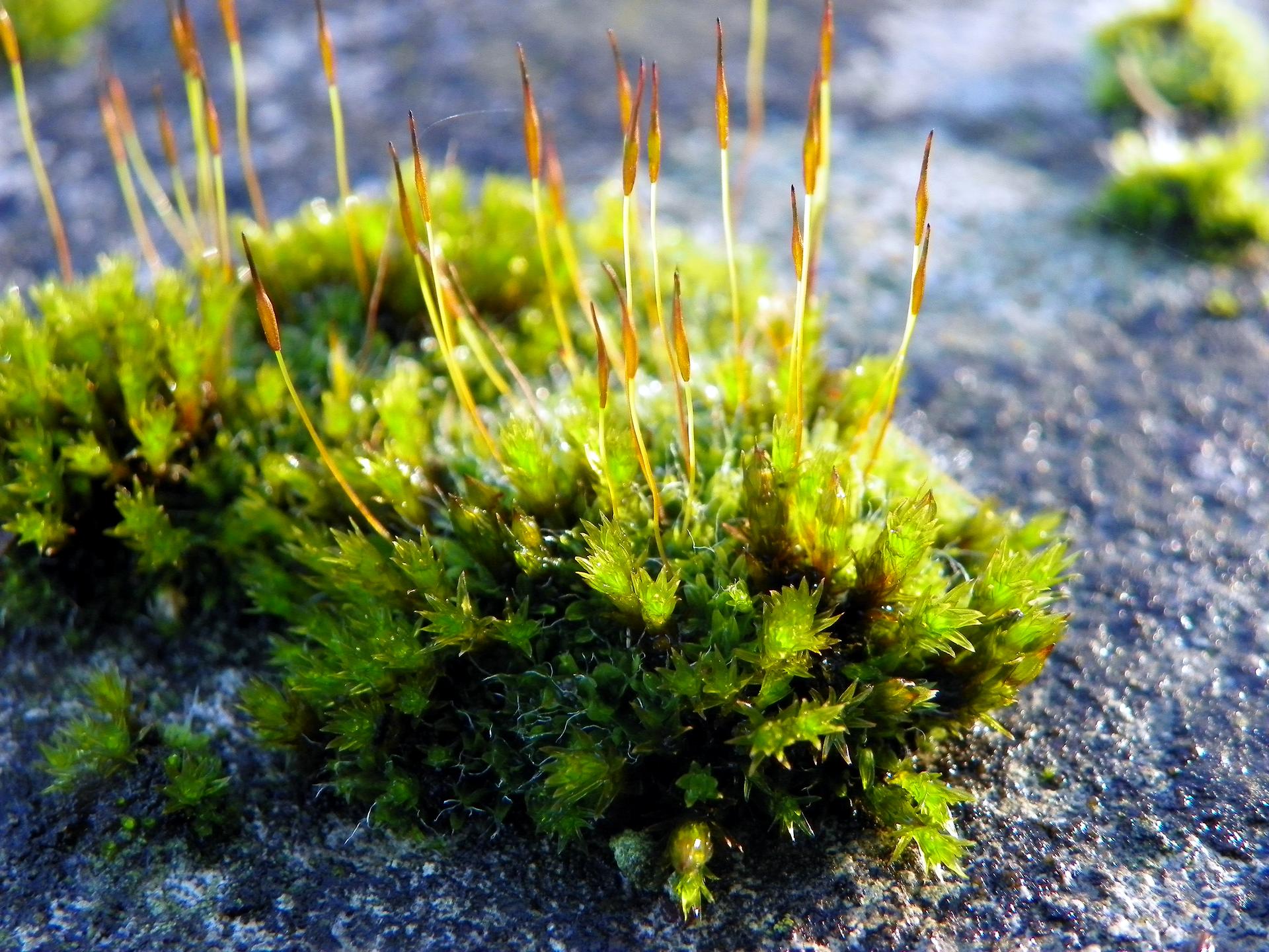 Fotografia przedstawia kępę mchu. Kępa skłąda się zkilkudziesięciu roślin tworzących zbitą kepę. Wyrastają zniej pozbawione lisktów łodyżki zakończone owalnymi zarodniami.