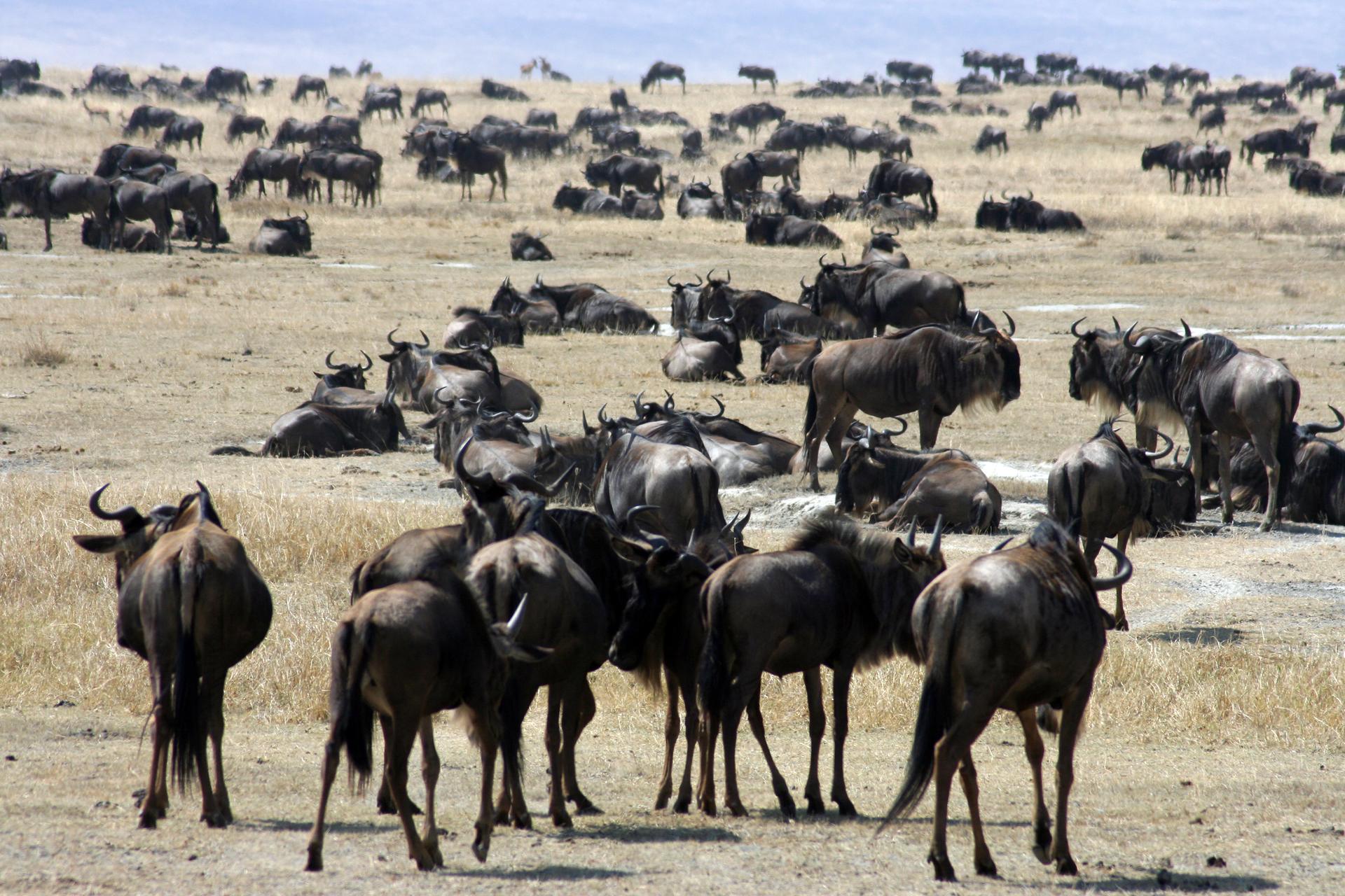 Fotografia przedstawia stada zwierząt kopytnych. Są one liczne, duże, ciemno ubarwione imają zakrzywione do góry rogi. Jedne znich stoją, inne leżą na suchym, trawiastym terenie.