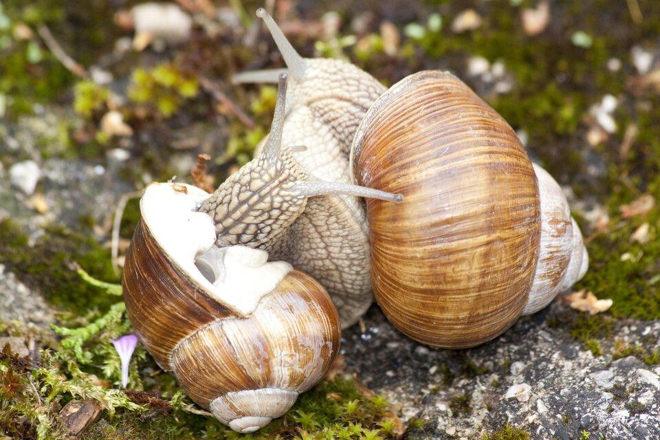 Fotografia przedstawia wzbliżeniu dwa ślimaki winniczki podczas zapłodnienia krzyżowego. Ich grube, jasno cętkowane nogi ściśle do siebie przylegają. Jasnobrązowe muszle są odchylone. Wtej zlewej wbiałym płaszczu znajduje się duży otwór oddechowy.