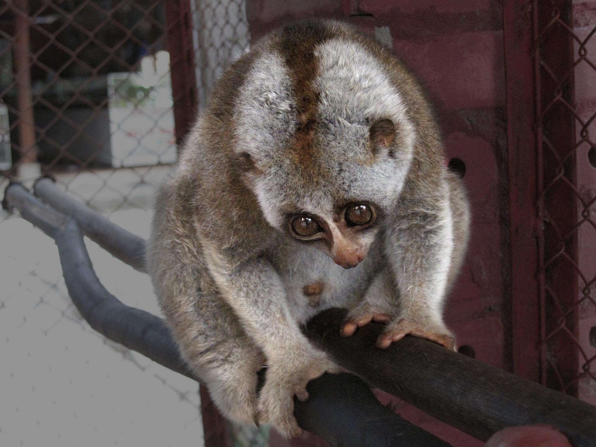 Fotografia przedstawia małpiatkę lori siedzącą na gałęzi. Małpiatka ma chwytne ręce iduże, czarne wypukłe oczy. Pokryta jest futrem.