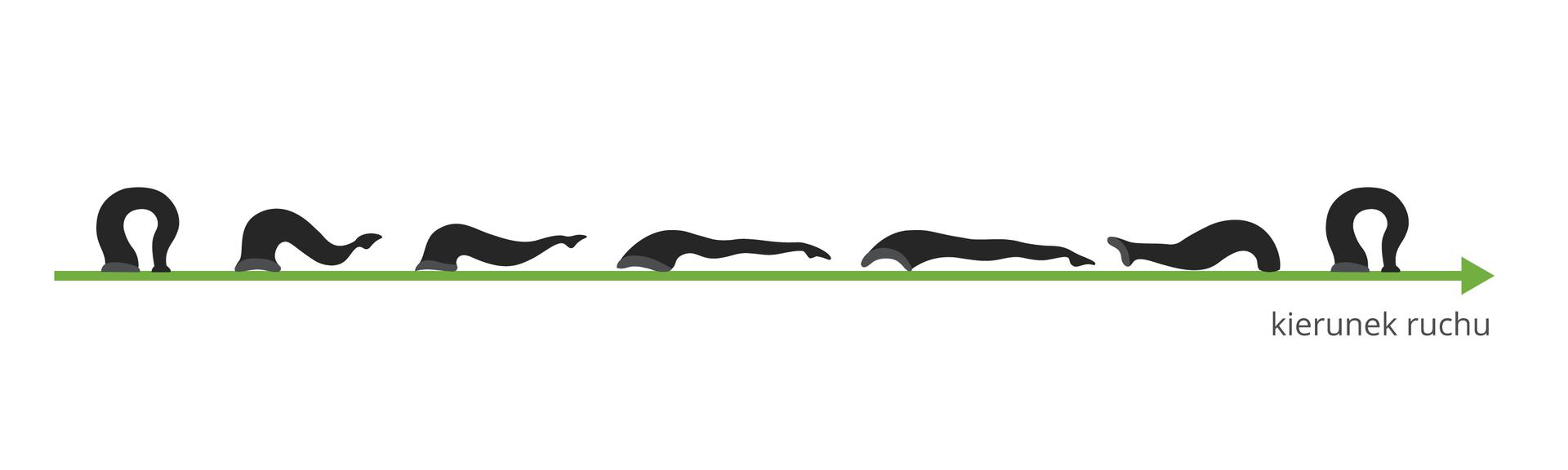 Ilustracja przedstawia czarne sylwetki pijawki na zielonej strzałce, oznaczającej kierunek ruchu. Na początku ina końcu pijawka jest wygięta włuk. Kolejne sylwetki pijawki obrazują kolejne fazy przemieszczania się.