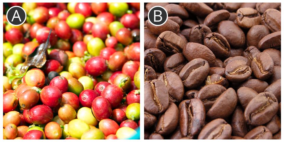 Ziarna kawy po zbiorze (A) ipoddane paleniu (B)