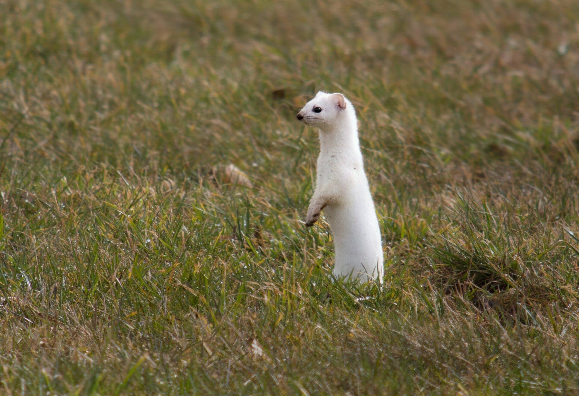 Fotografia prezentuje stojącego na tylnych nogach gronostaja. Gronostaj jest niewielkich rozmiarów, ma białe futro, czarne oczy inos.