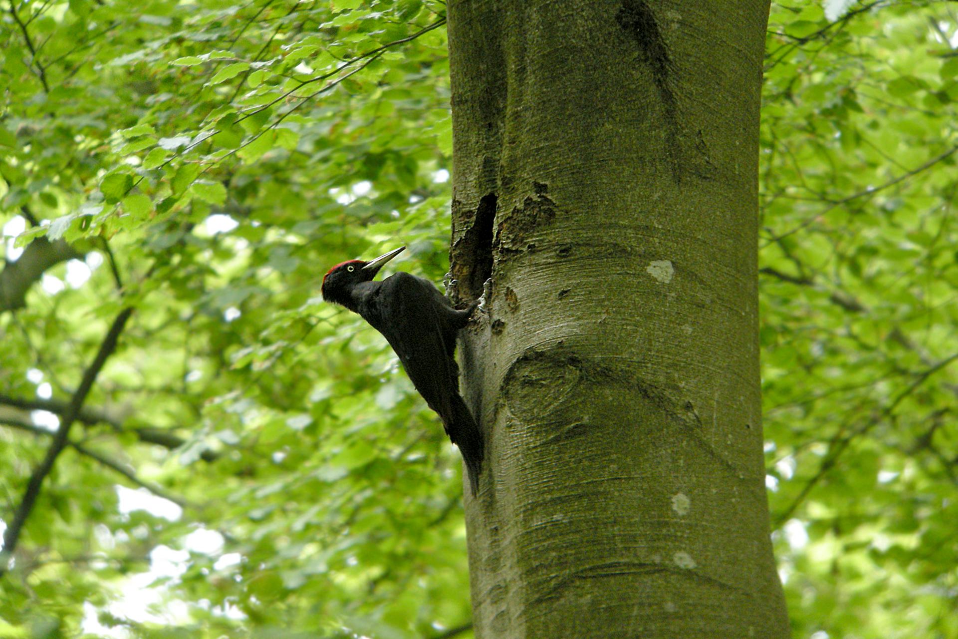 Fotografia przedstawiająca dzięcioła czarnego, wykuwającego dziuplę wpniu drzewa, widok zboku