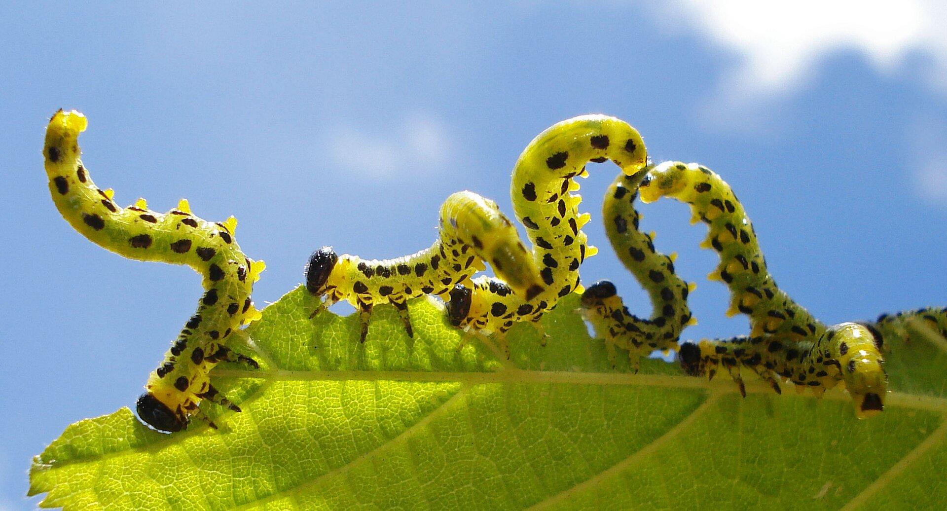 Fotografia przedstawia fragment liścia, na którym znajduje się sześć larw. Larwy są powyginane, żółte wczarne kropki imają czarne główki.