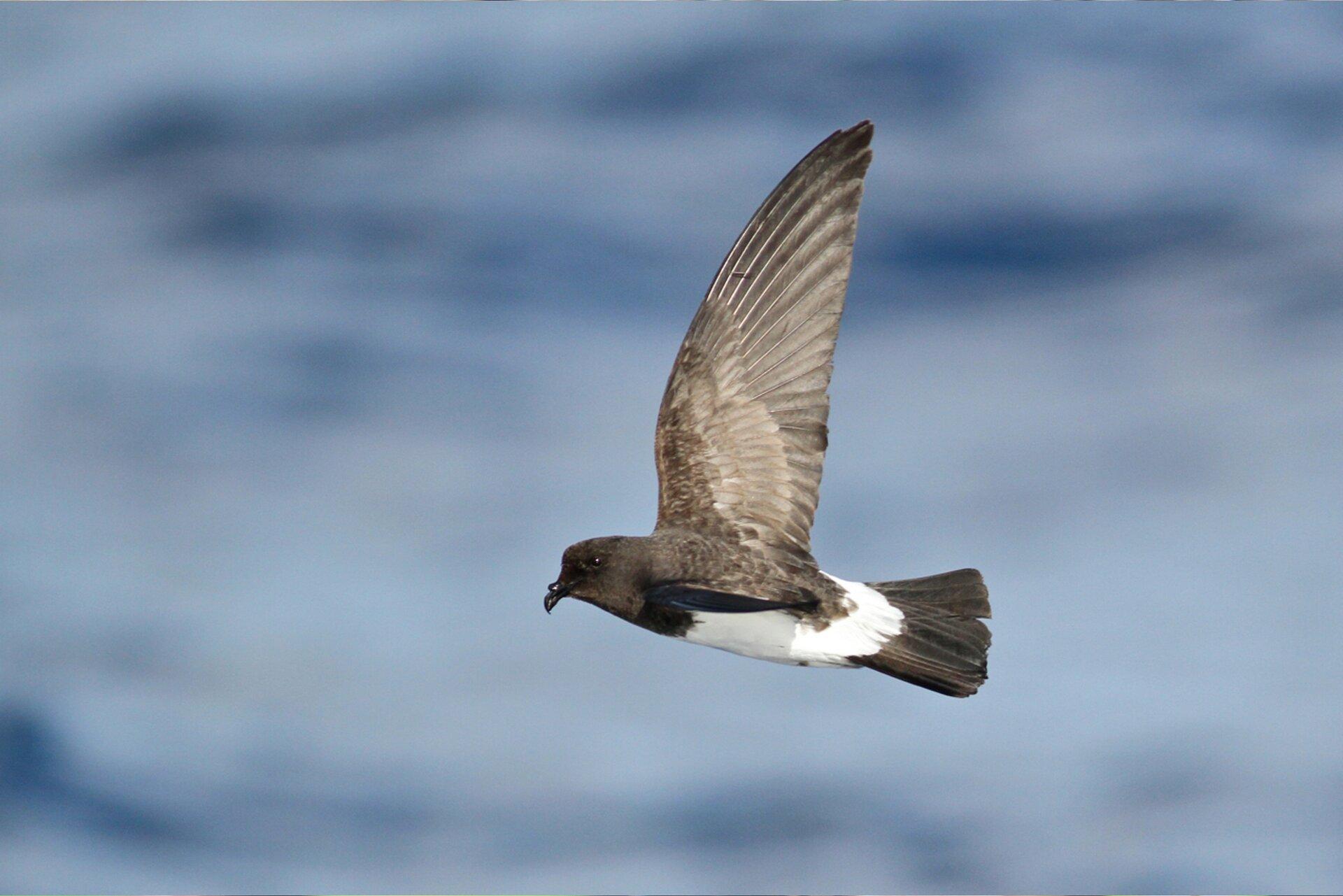 Ilustracja przedstawia  lecącego oceannika maoryskiego. Jego umaszczenie jest dwukolorowe. Ciemnie skrzydła, głowa iogon. Tułów biały.