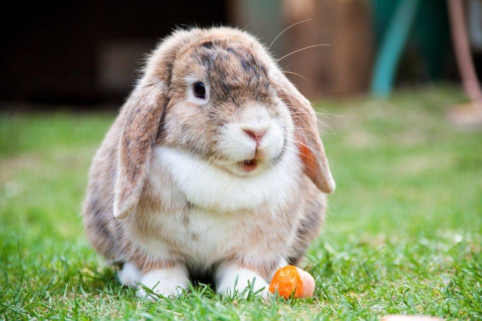 Fotografia prezentuje małego królika zoklapniętymi uszami siedzącego na trawie.