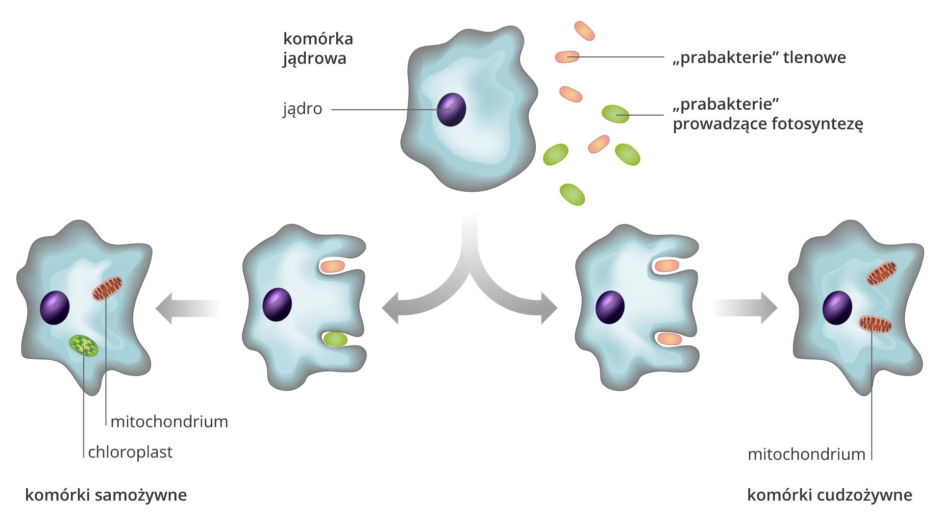 Ilustracja numer dwa przedstawia proces endosymbiozy. Proces przedstawiony jest wpięciu etapach, za pomocą pięciu komórek eukariotycznych. Komórka eukariotyczna to owalna struktura opofalowanym brzegu. Wcentralnym punkcie komórki znajduje się jedno małe, owalne jądro. Pierwszy etap ilustruje umieszczona na górze jedna komórka eukariotyczna. Na prawo od niej znajdują się małe prabakterie: cztery czerwone, owalne, pałeczkowate – to prabakterie tlenowe. Poniżej nich cztery zielone owalne prabakterie prowadzące fotosyntezę. Od tej komórki eukariotycznej rozchodzą się wprawo ilewo półokrągłe szare strzałki. Każda znich wskazuje po dwie komórki eukariotyczne. Za strzałką skierowaną wprawo znajdują dwie komórki eukariotyczne. Pierwsza komórka bliżej strzałki zdwoma prabakteriami zagłębionymi wbłonę komórkową: na górze czerwona tlenowa prabakteria, na dole zielona samożywna prabakteria. Miejsca wnikania to zagłębienia komórki eukariotycznej. Dalej po lewej stronie ta sama komórka na następnym etapie procesu. Prabakterie znajdują się wjej wewnętrzu. Czerwona prabakteria to mitochondrium, zielona prabakteria to chloroplast. Poniżej napis: komórki samożywne. Na prawo od grota drugiej strzałki dwie komórki eukariotyczne. Pierwsza zdwoma zagłębieniami, wktórych są dwie czerwone prabakterie tlenowe. Następny etap to ta sama komórka na kolejnym etapie procesu. Wjej wnętrzu są dwie tlenowe prabakterie. Prabakteria wewnątrz komórki nazwana jest mitochondrium. Poniżej napis: komórki cudzożywne.