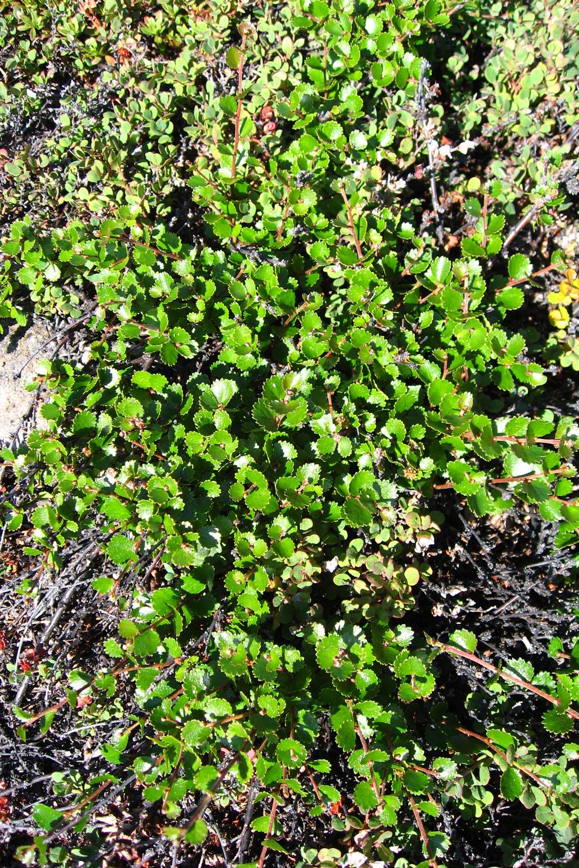 Fotografia prezentuje zdjęcie wykonane zgóry, na który widać niewielkich rozmiarów zielona brzozę karłowata.