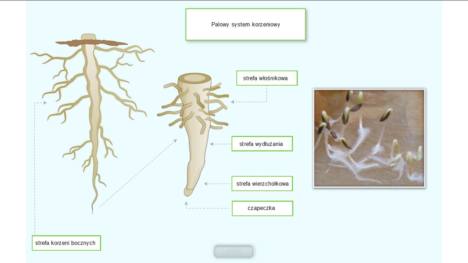 Animacja przedstawia kolejno pojawiające się rysunki iopisy poszczególnych części korzenia.