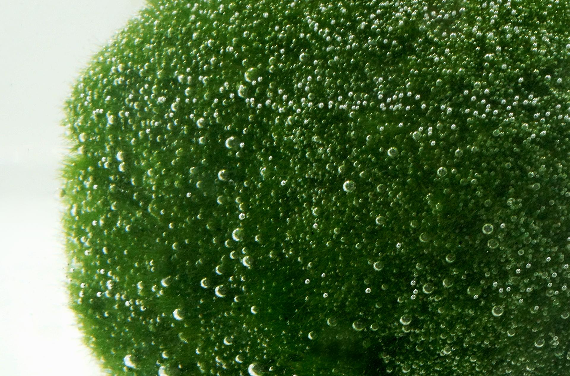 Fotografia przedstawia zieloną kulistą masę zlicznymi pęcherzykami. Jest to gałęzatka, popularny glon akwariowy.