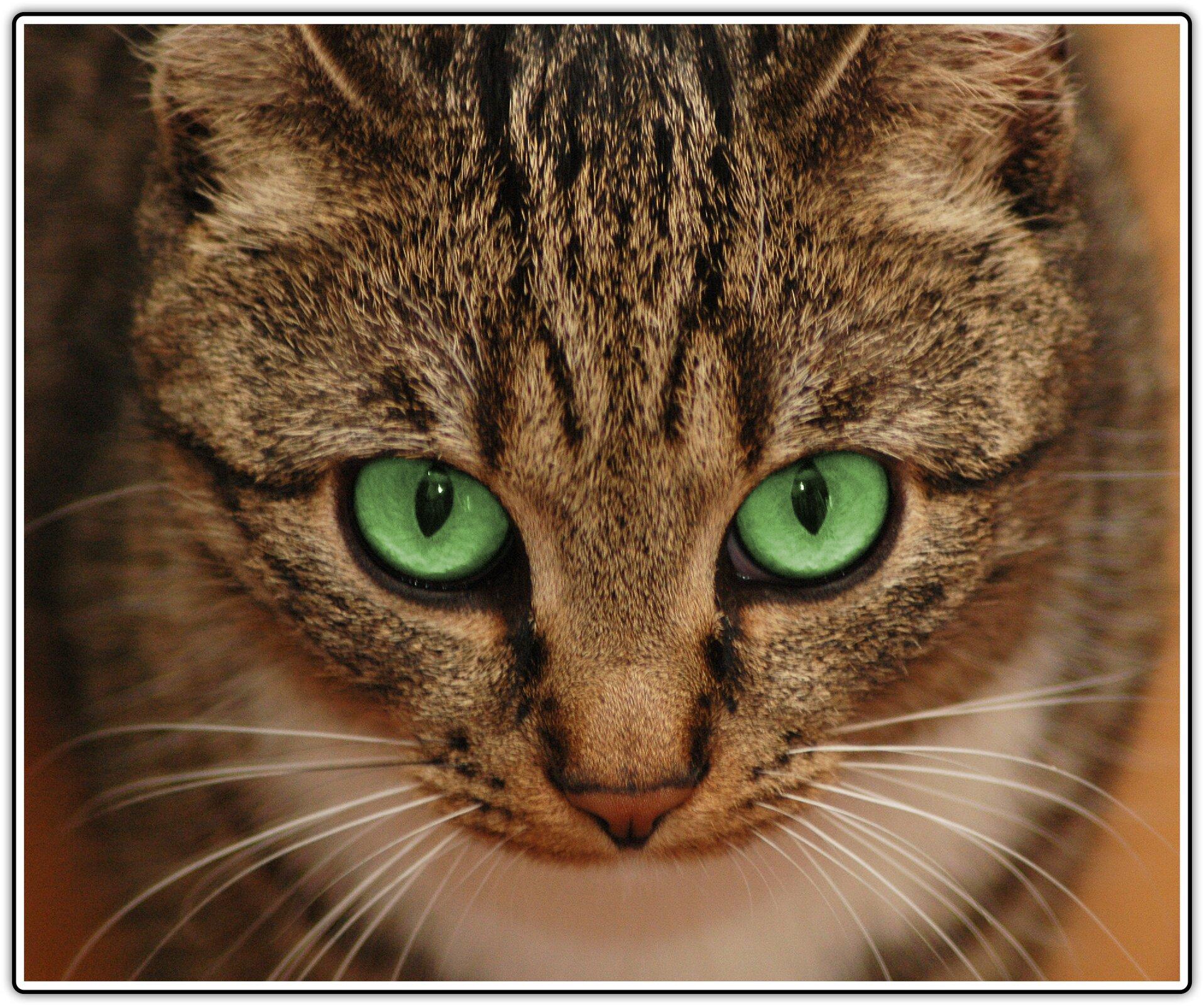 Fotografia przedstawiająca kota zzielonymi oczami