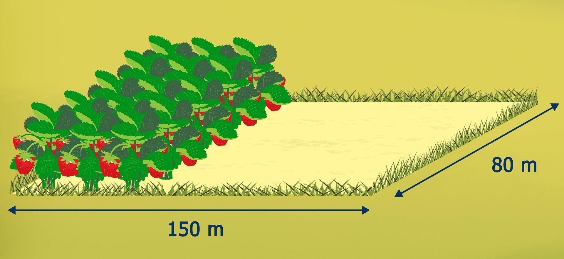 Rysunek działki wkształcie prostokąta obokach 150 cm i80 cm. Zaznaczona część obsadzona truskawkami.