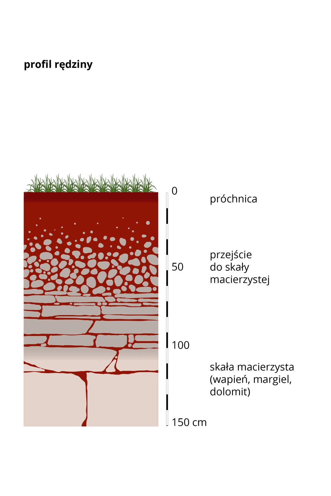 Prostokątny pas – przekrój profilu glebowego rędziny. Dolną warstwę stanowi skała macierzysta – czyli skała wapienna. Na rysunku wkolorze białym. Im wyżej tym skała bardziej popękana irozdrobniona. Wierzchnią warstwę stanowi próchnica. Rędzina ma cienką warstwę glebową, grubą warstwę skały macierzystej wporównaniu do innych profilów glebowych. Zprawej strony umieszczono podziałkę iopisano wysokość wcentymetrach.