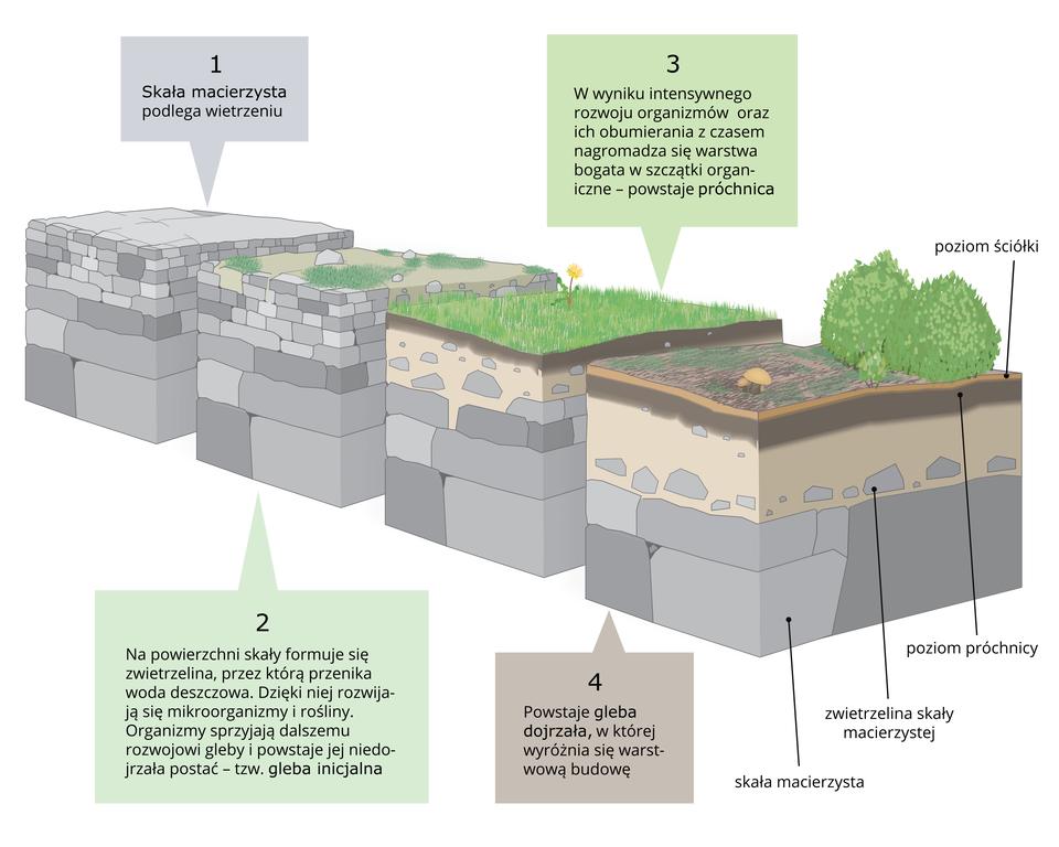 Na ilustracji cztery prostopadłościenne wycinki skał. Kolejno – skała, gleba inicjalna, próchnica igleba dojrzała. Jest to proces powstawania gleby ze skały macierzystej. Kolejne wycinki mają coraz bardziej zwietrzałą powierzchnię, na której rozwijają się rośliny imikroorganizmy.