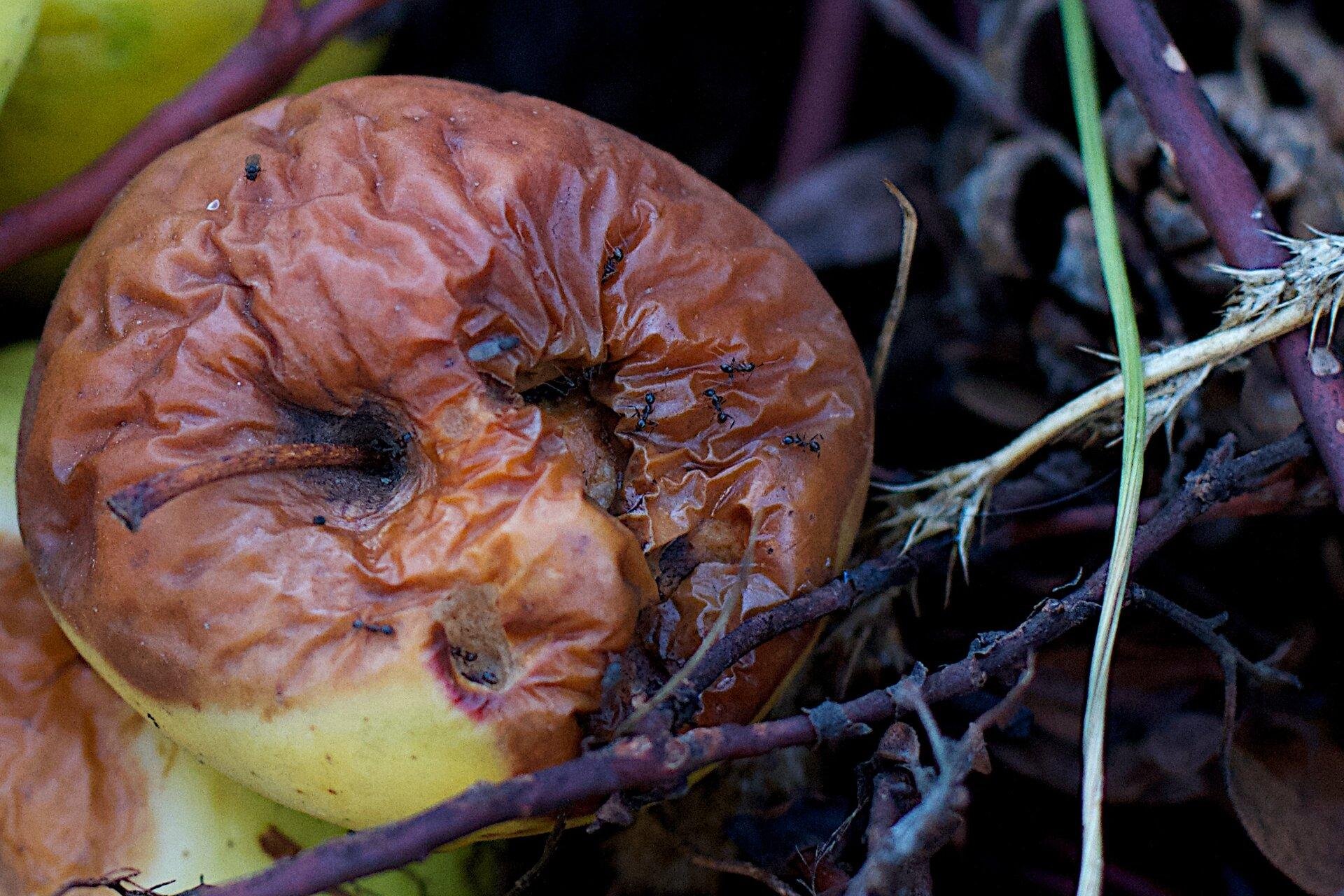 Fotografia przedstawia gnijące jabłko.
