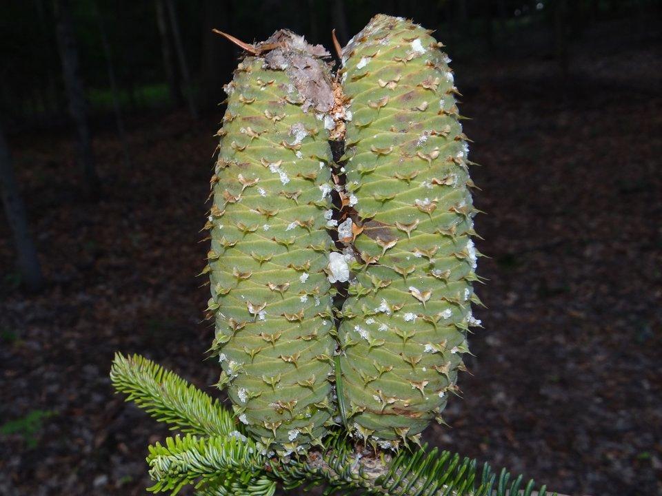 Fotografia gałązki jodły. Igły są krótkie, spłaszczone, zjasnymi paskami pod spodem. Szyszki jodły rosną wgórę.