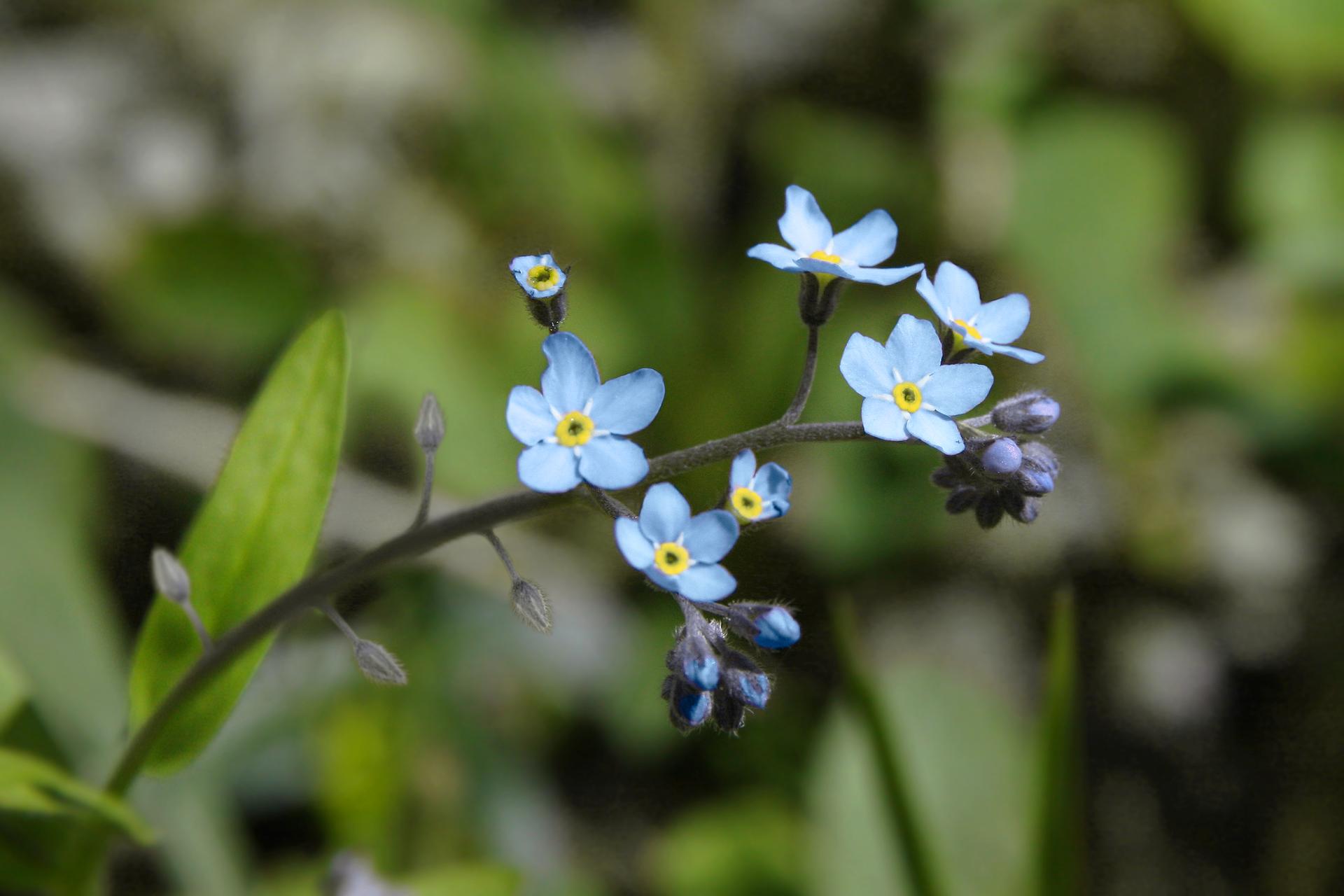 Fotografia przedstawia zbliżenie kilku błękitnych kwiatków na grubej, szarej łodyżce. To niezapominajka smukła. Wtle wąski jasnozielony listek.