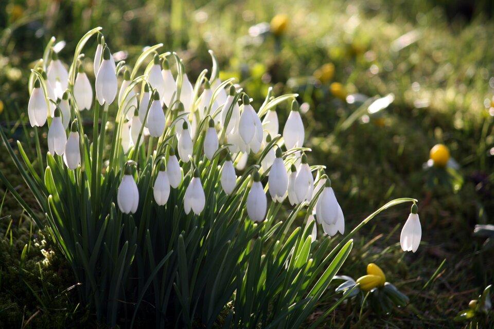 Zdjęcie przedstawia przebiśniegi, których zakwitanie oznacza zbliżanie się wiosny. Na zdjęciu wdużym przybliżeniu widoczne są małe kwiaty obiałych płatkach. Kwiaty zwisają wdół. Białe płatki zachodzą jeden na drugi. Kwiaty przebijają się przez śnieg leżący na ziemi.