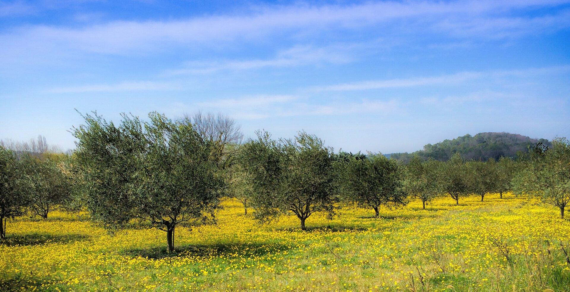 Fotografia prezentuje gaj oliwny zniskimi orozbudowanej koronie drzewami oliwnymi stojącymi wrzędach.