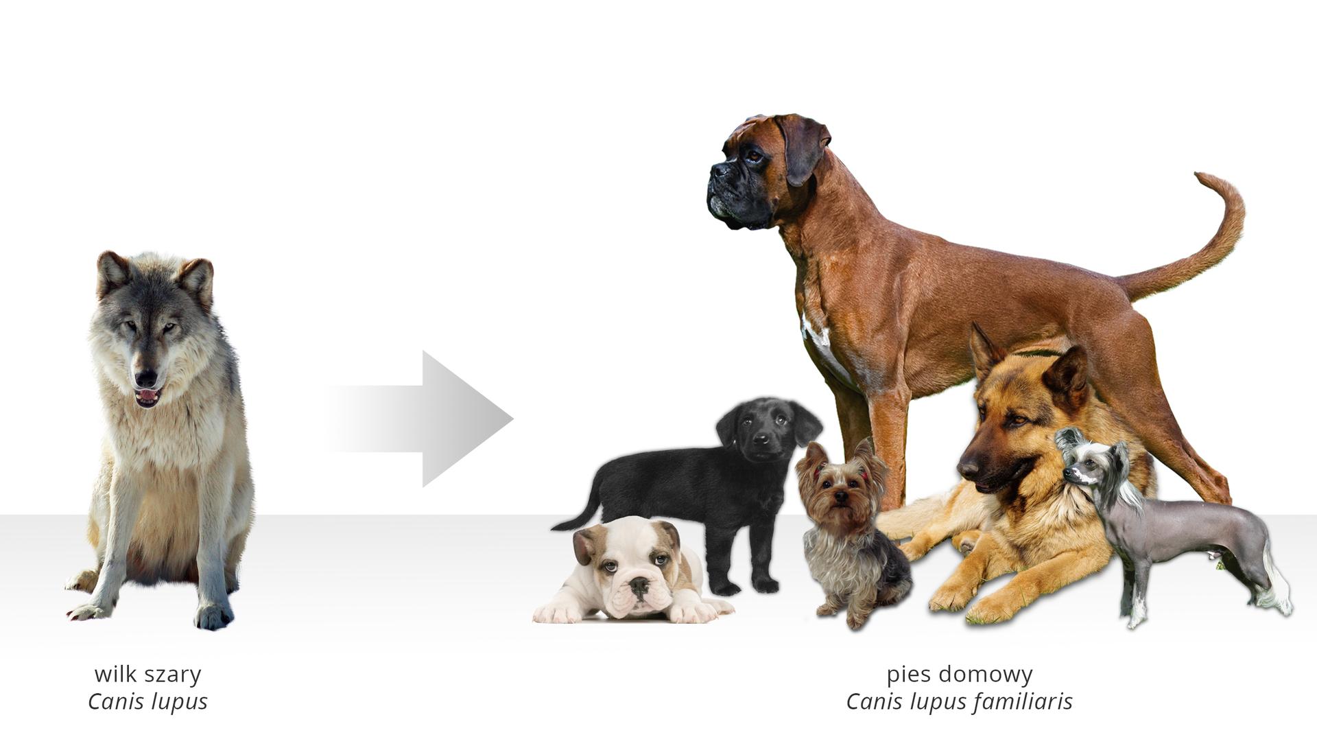 Galeria numer dwa to dwie ilustracje ułożone obok siebie. Pierwsza znich prostokątna. Tło białe. Ilustracja przedstawia psy. Jeden pies po lewej stronie zdjęcia. Pies to wilk szary, Canis lupus. Wilk siedzi wsparty na przednich łapach. Przednie łapy białe. Sierść na podbrzuszu biała. Głowa wilka skierowana wstronę obserwatora zdjęcia. Górna część pyska, czoło iuszy ciemno szare. Na prawo od wilka pozioma strzałka. Grot strzałki skierowany na prawo. Po prawej stronie ilustracji sześć psów. Każdy pies jest innej rasy. Największy pies to stojący buldog. Buldog patrzy wstronę wilka siedzącego po lewej stronie zdjęcia. Sierść buldoga brązowa. Ogon poziomo wyprostowany. Na lewo od buldoga leży owczarek niemiecki. Sierść owczarka jasno brązowa. Głowa psa skierowana wstronę obserwatora zdjęcia. Pysk owczarka czarny. Trójkątnie zakończone uszy ciemno-brązowe od wewnątrz. Na prawo od owczarka szary, krótkowłosy mały pies. Pies stoi bokiem do obserwatora. Głowa skierowana wstronę siedzącego wilka. Na lewo, przed buldogiem, trzy małe psy. Mały czarny pies stoi. Głowa skierowana wprawo. Przed czarnym psem leży biały pies wbrązowe łatki. Uszy brązowe. Na prawo siedzi mały pies. To mały szary York. Poniżej psów napis: pies domowy, Canis lupus familiaris.
