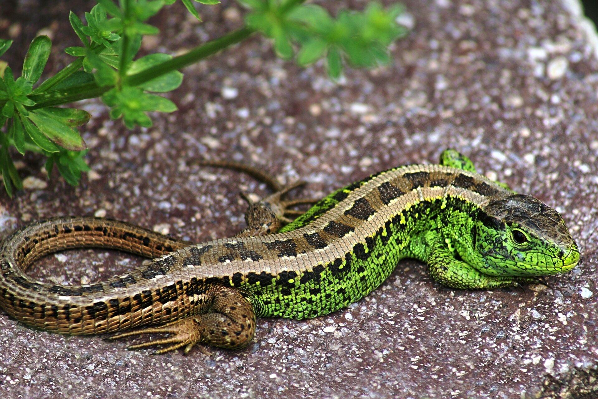 Fotografia przedstawia jaszczurkę zwinkę. Ciało jaszczurki jest zielone zbrązowym ogonem. Stoi pod trawą na ziemi, lekko skosem, duża głowa zbrązowym okiem wlewo. Ma bardzo krótkie łapy. Na ciele drobne łuski.