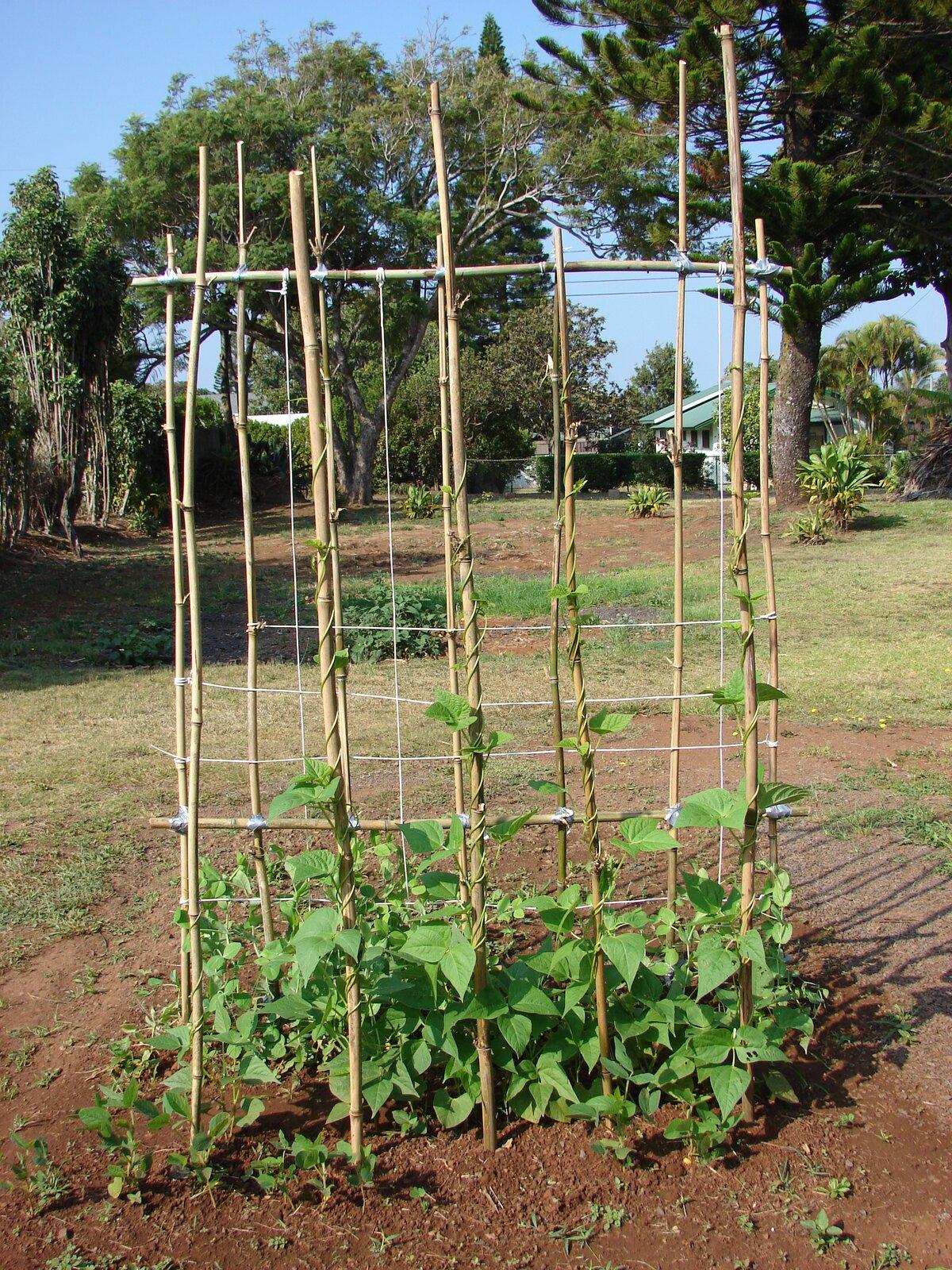 Fotografia przedstawia ogródek, wktórym posadzono fasolę. Przy niej znajdują się wysokie, powiązane ze sobą tyczki. Zielone pędy fasoli owijają się dookoła podpór.