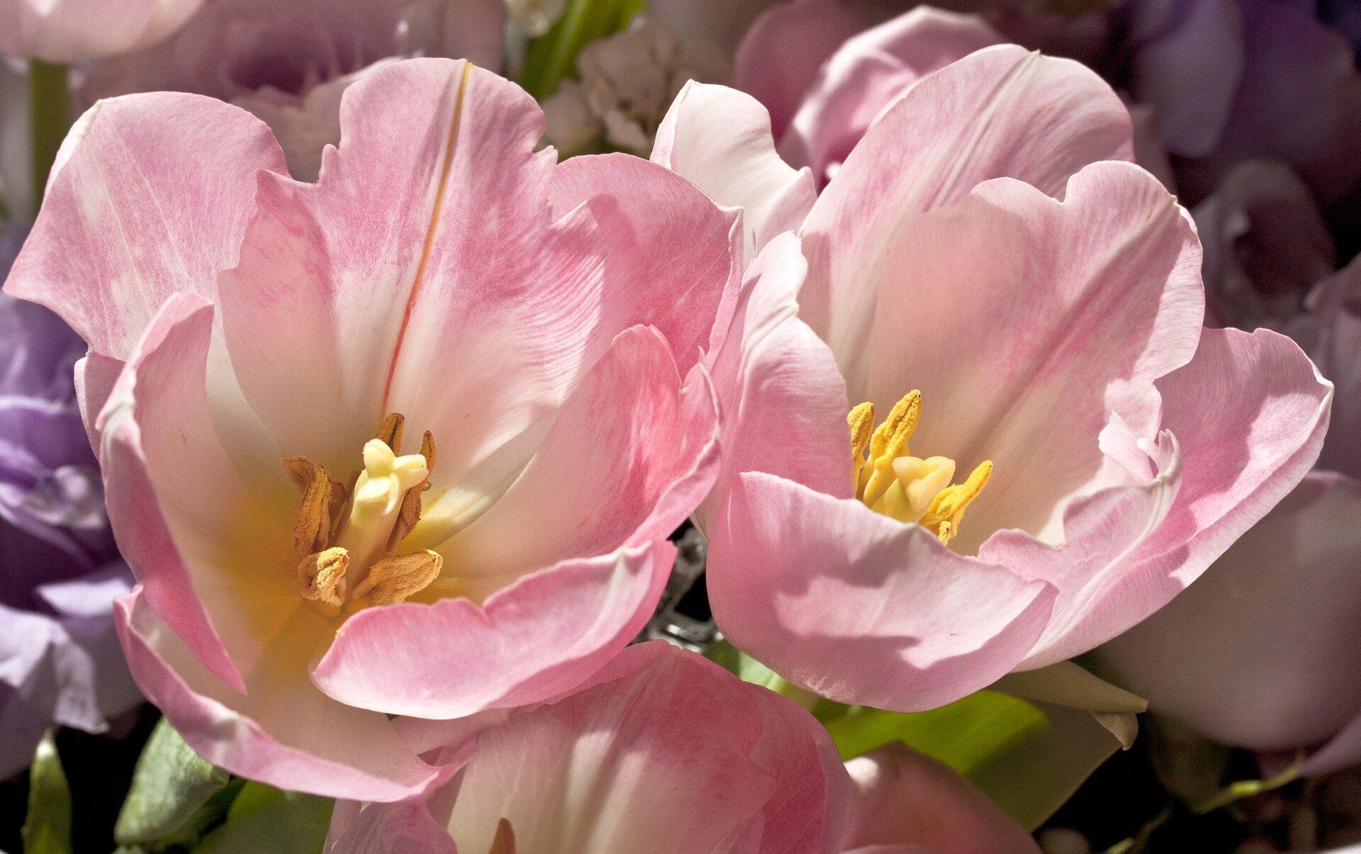 Fotografia przedstawia różowe, mocno otwarte kwiaty tulipanów wpełnym słońcu. Kiedy temperatura spada, kwiaty tulipanów się zamykają. Taki ruch nazywa się termonastią.