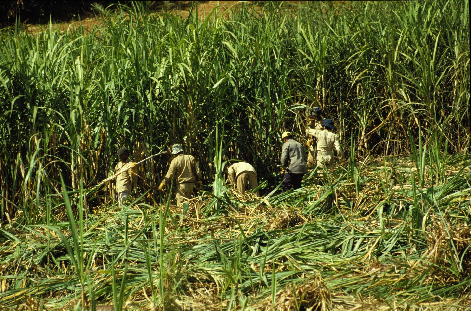 Na zdjęciu zbiór trzciny cukrowej. Na pierwszym planie ścięte rośliny, dalej szpalerem ustawionych jest pięć osób, które ścinają wysokie na sześć metrów źdźbła trzciny cukrowej rosnące przed nimi.