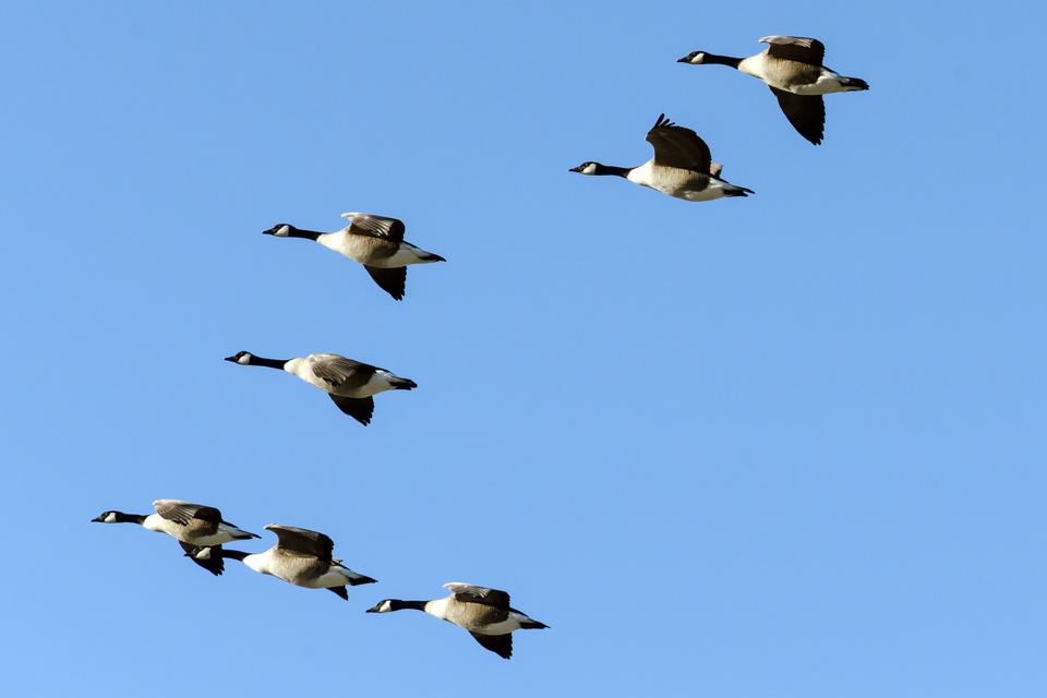 Zdjęcie przedstawia migrujące ptaki.