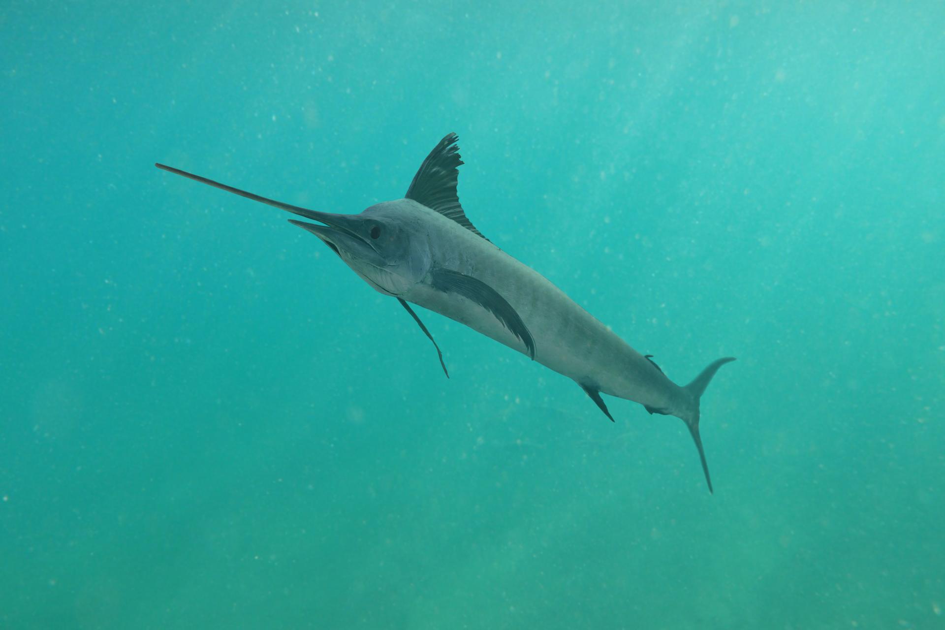 Zdjęcie miecznika wmorzu. Wuba jest skierowana głową wlewa stronę zdjęcia. Zprzodu glowy znajduje się długi, ostro zakończony wyrostek. Ciało ryby jest wysmukłe. Płetwy są wąskie imają kształt sierpa.