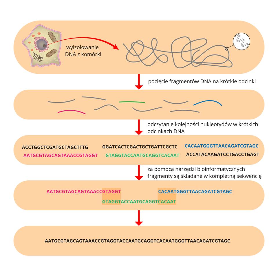 Schemat wformie różowych czworokątów przestawia sposób sekwencjonowania DNA. Wgórnym czworokącie znajduje się obraz komórki iszara, długa nić jej DNA. Poniżej kolorowe krótkie nici oznaczają pocięcie fragmentu DNA na małe odcinki. Strzałka prowadzi do prostokąta zzapisem odczytanej sekwencji nukleotydów. Niektóre fragmenty są wkolorach: różowym, zielonym iniebieskim. Na kolejnym etapie fragmenty są składane wjedną sekwencję. Ciemniejszy kolor oznacza identyczne odcinki. Ostatni czworokąt przedstawia zapis uzyskanej wten sposób sekwencji DNA.
